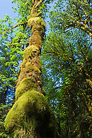 Bulging moss covers a tree on Kestner Homestead Trail, Quinault Rain Forest, Olympic National Park, Washington.
