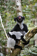 Indri (Indri indri)<br /> East Madagascar<br /> Mantadia National Park<br /> MADAGASCAR<br /> ENDEMIC<br /> Critically endangered