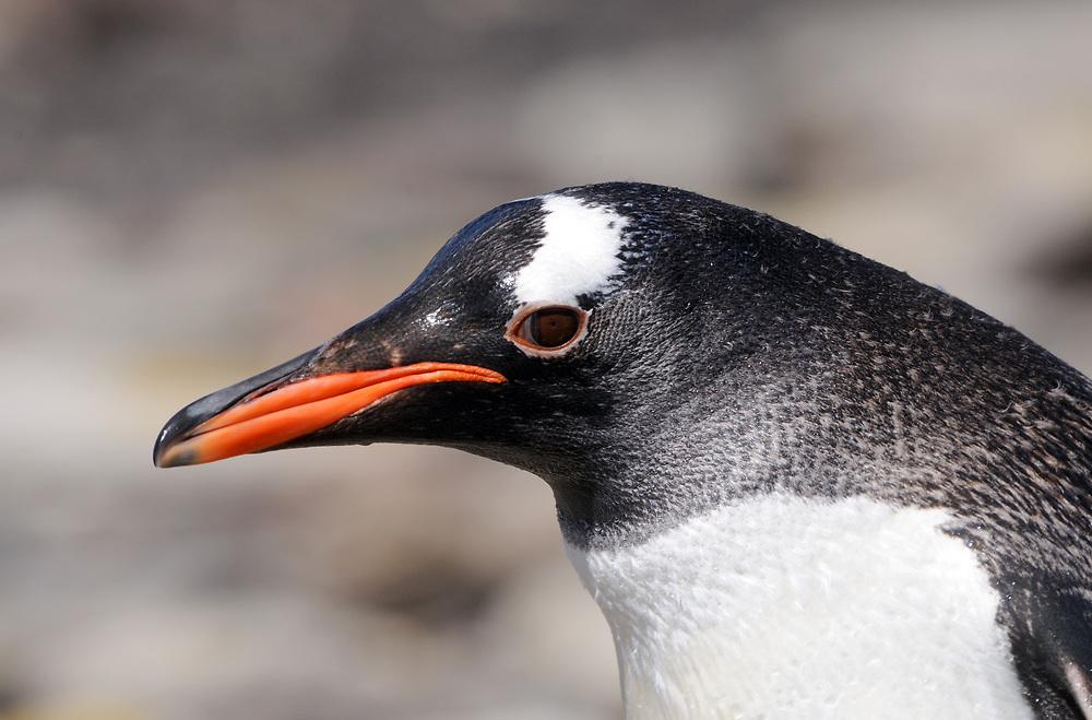 Portrait of a  Gentoo penguin  (Pygoscelis papua). Saunders Island. Saunders Island, Falkland Islands. 15Feb16