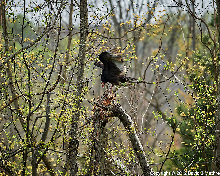 Turkey Vulture. Image taken with a Nikon D3s camera and 300 mm f/2.8 lens.