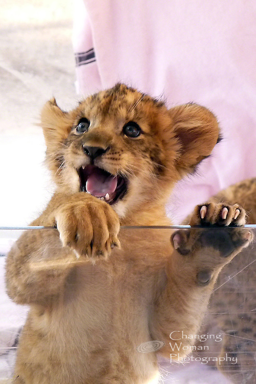 Six-week-old lion cub, one of seven new additions to the pride at Las Vegas's Lion Habitat Ranch, displays a happy, curious personality and impressive claws.