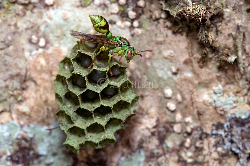 Beautiful wasp (Ropalidia sp.) on it's hive with eggs and larvae visible. Photo from Andasibe, Madagascar.
