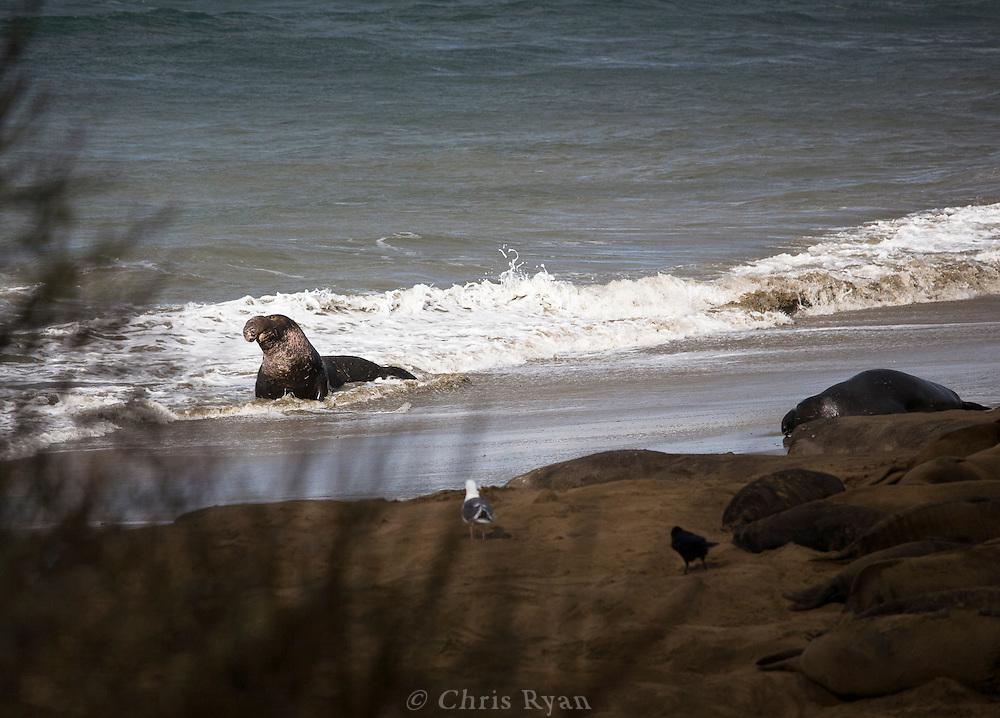 Elephant seal on the beach, Ano Nuevo, California