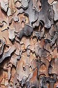 Detail of the jigsaw puzzle bark of a ponderosa pine (Pinus ponderosa) along Monument Creek Trail, Okanogan National Forest, Washington.