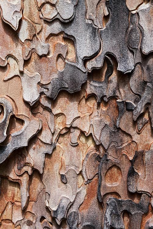 Detail of the jigsaw puzzle bark of a ponderosa pine (Pinus ponderosa) along Monument Creek Trail, Okanogan National Forest, Washington.