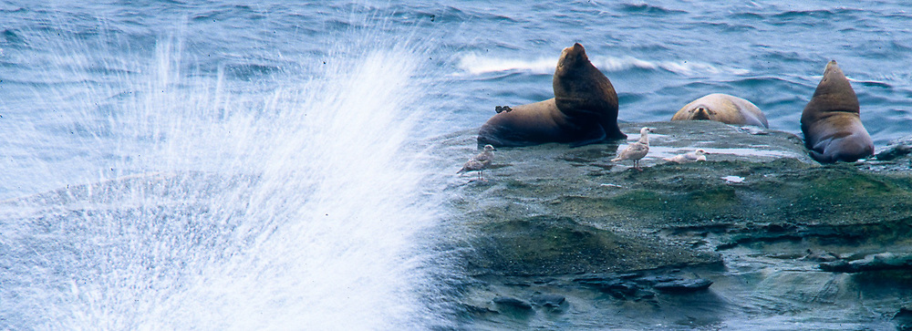 California sea lions, North Pacific Coast