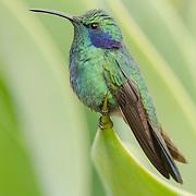 Green violetear (Colibri thalassinus), Costa Rica.