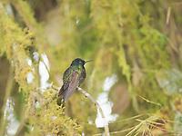 Velvet purple coronet, Boissonneaua jardini, perched on a branch at Refugio Paz de las Aves, Ecuador