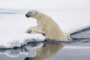 A polar bear (Ursus maritimus) climbing out of icy water, while watching a seal escape from its surprise attack, Spitsbergen, Svalbard, Norway
