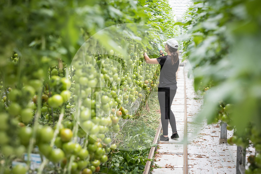 SCHWEIZ - NIEDERBIPP - Ein Mitarbeiter schneidet im Tomatengewächshaus Blätter aus, bei Bösiger Gemüsenkulturen AG - 21. Juni 2019 © Raphael Hünerfauth - http://huenerfauth.ch