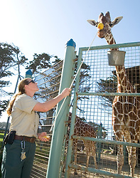 Sarah King of Walnut Creek, Calif., the primary giraffe keeper at the San Francisco Zoo, conducts the public feeding of the reticulated giraffes Monday, Sept. 6, 2010 in San Francisco. The giraffe knows that touching the yellow ball with its nose will get it a special treat:  a banana. (D. Ross Cameron/Staff)