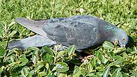 Rock Pigeon (Columba livia). Saint Petersburg, Russia. Image taken with a Nikon N1V2 camera and 10-100 mm VR lens.