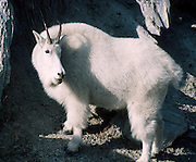 Mountain goat (Oreamnos americanus), Kootenay National Park, British Columbia, Canada. The mountain goat is an even-toed ungulate of the order Artiodactyla and the family Bovidae (that includes antelopes, gazelles, and cattle). It belongs to the subfamily Caprinae (goat-antelopes), along with thirty-two other species including true goats, sheep, the chamois, and the musk ox. The mountain goat is the only species in the genus Oreamnos. Photo is within the Canadian Rocky Mountain Parks World Heritage Site declared by UNESCO in 1984.