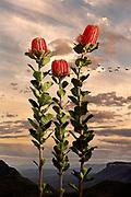 Temple Of Flora: Australis<br /> Prints available <br /> 150x120cm $2,800.00AU<br /> 1100x80cm $2,100.00AU<br /> Editions of 8 <br /> Contact for edition info