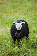 Herdwick sheep lamb at Westhead Farm by Thirlmere in the Lake District National Park, Cumbria, UK