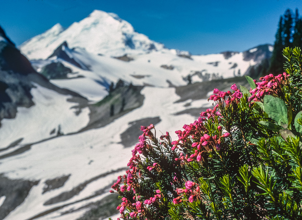 Red heather (Phyllodoce empetriformis), summer, Mount Baker Wilderness, Washington, USA