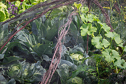 Brassica cage with Cauliflower 'green Trevisio' and Cabbage 'Golden Acre' with Squash 'Porcelain Princess' scrambling over it.
