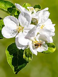 THEMENBILD - eine Biene nimmt Nektar an den Blüten eines Apfelbaumes auf, aufgenommen am 30. April 2018 in Kaprun, Österreich // a bee takes nectar on the Blossoms of an apple tree, Kaprun, Austria on 2018/04/30. EXPA Pictures © 2018, PhotoCredit: EXPA/ JFK