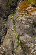 Wildflowers on rock, Sitka, Alaska