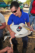 Great White Pelican (Pelecanus onocrotalus) are being ringed and marked before being released back back to nature. This will allow researchers to better understand the birds migration mechanism. Photographed at the Carmel Hai-Bar Animal Sanctuary in Israel
