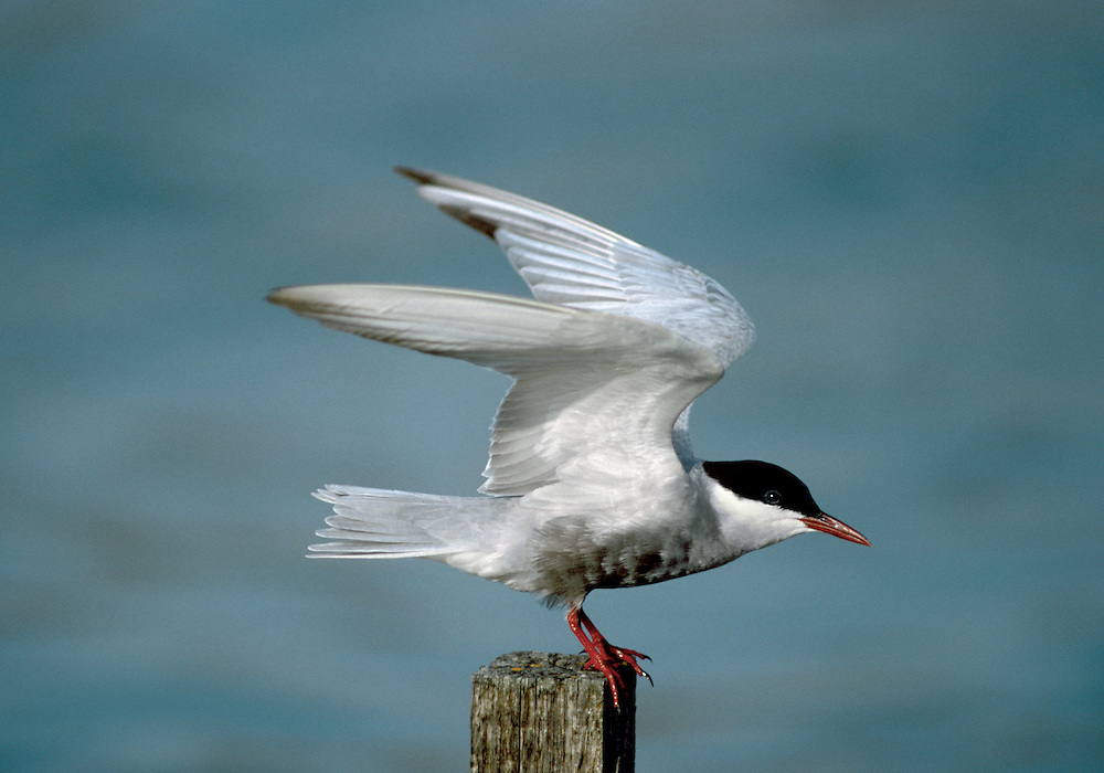 The Whiskered Tern Chlidonias hybridus (L 24-27cm) is more like a miniature Common Tern in breeding plumage but at other times it is mainly white with pale grey upperwings and blackish speckling on hindcrown.