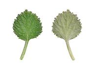 White Horehound - Marrubium vulgare - leaf upper surface (left, underside (right)