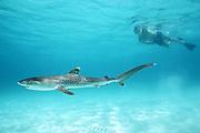 snorkeler and baby tiger shark, Galeocerdo cuvier, just over two feet long, Bimini, Bahamas ( Western Atlantic Ocean )
