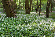 Ramsons Allium ursinum, Park Gate Down, Kent Wildlife Trust, UK, growing in woodland, also known as buckrams, wild garlic, broad-leaved garlic, wood garlic or bear's garlic
