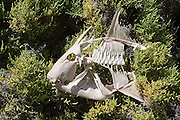 A parrotfish skeleton sits atop brush, victim of a fisher; Ensenada Grande, Isla Partida, La Paz, BCS, Mexico; Jan 2010