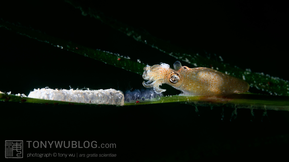 This is a female Japanese pygmy squid (Idiosepius paradoxus) depositing eggs on a blade of eelgrass (Zostera marina). The white mass to the left of the fresh eggs are eggs that were deposited earlier, not necessarily by this female. Fine grains of sand and other debris have covered the older eggs. The females seem to prefer certain blades of eelgrass. It is common to see two or more clutches on a single blade of eelgrass and none on others.