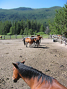 Horses in the stable in Sulphur Creek, ID