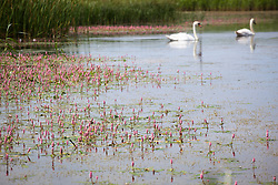 Amphibious bistort with swans. Persicaria amphibia