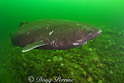 Greenland sleeper shark ( Somniosus microcephalus )<br /> swims over plumose or frilled anemones ( Metridium senile )<br /> and northern red anemones ( Tealia felina or Urticina felina )<br /> St. Lawrence River estuary, Canada<br /> (this shark was wild & unrestrained; it was not hooked<br /> and tail-roped as in most or all photos from the Arctic)