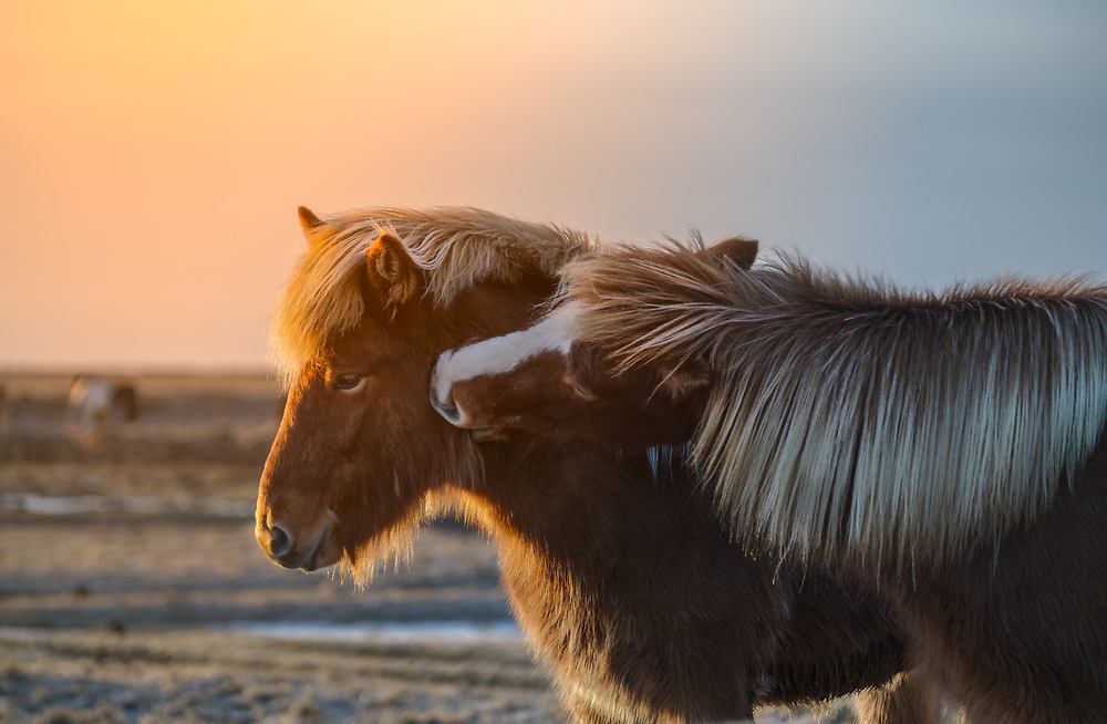 Icelandic horses are especially popular in western Europe, Scandinavia, and North America.<br /> There are about 80,000 Icelandic horses in Iceland (compared to a human population of 317,000), and around 100,000 abroad. Almost 50,000 are in Germany, which has many active riding clubs and breed societies.