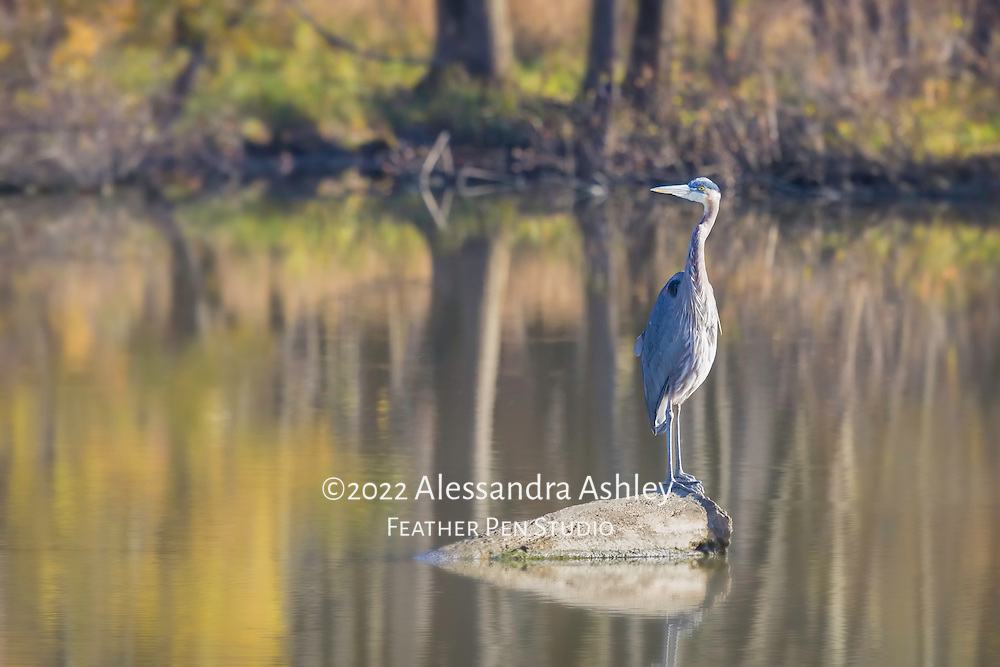 Great blue heron (Ardea herodias) perched on rock,  scanning lake for signs of fish.  Charles Mill Lake, central Ohio.