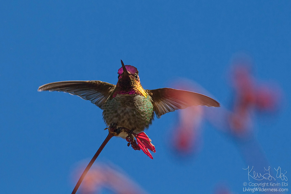 A male Anna's hummingbird (Calypte anna) lands on a maple tree that is beginning to leaf out. Males in the Calypte genus of hummingbirds are quite distinctive with iridescent crowns. All hummingbirds, however, have iridescent plumage, which reflects certain wavelengths of light and reflects them directly in front of the bird. The bright flashes of color are visible only when the bird is facing you. Several features of the feathers result in the iridescence. Barbules, which are flat in most birds, are angled to form a V shape in hummingbirds. Also, the surface of the barbules is covered with microscopic discs containing tiny air bubbles that amplify certain colors of light and cancel out others.