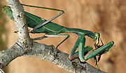 Green Mantis (Sphodromantis viridis) devouring a hunted insect