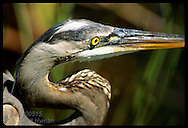 Close-up portrait of great blue heron highlights bright yellow eye & flexible neck; Everglades Florida