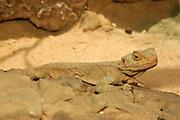 Roughtail Rock Agama Lizard Agama stellio