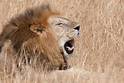 Male African Lion with it's mouth open showing it's teeth-closeup.(Panthera leo).Masai Mara National Park, Kenya