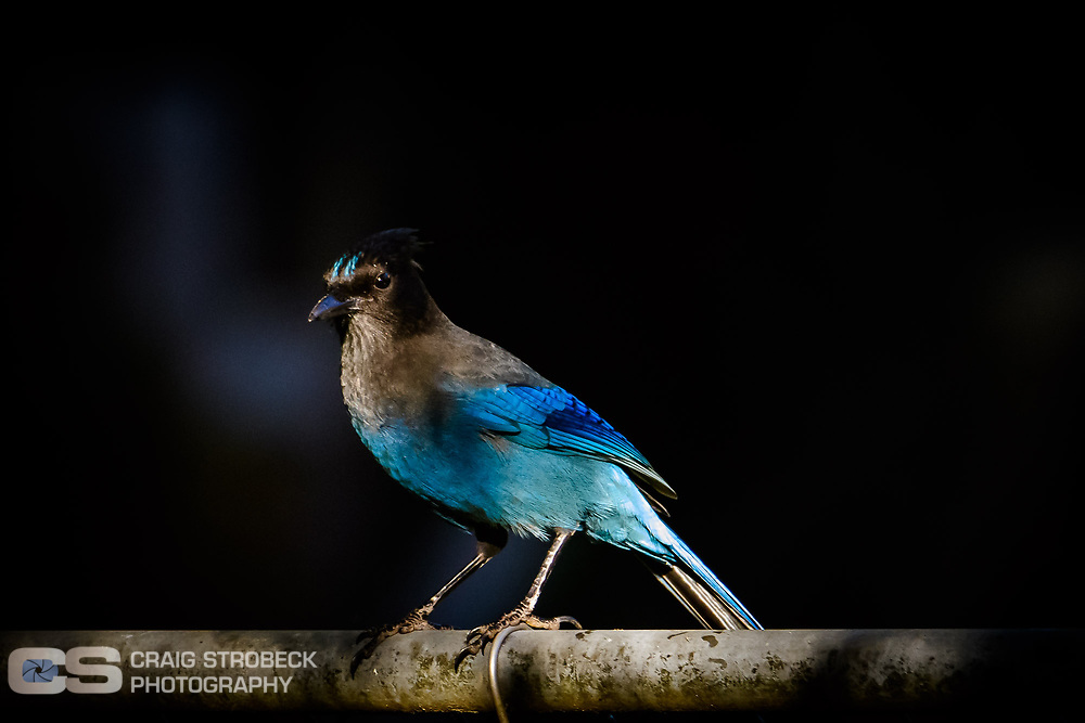 Seller's Jay photographed in North Eugene, Oregon