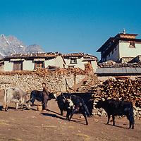 Cattle graze in front of Tengboche monastery  in the Khumbu region of Nepal. 1974
