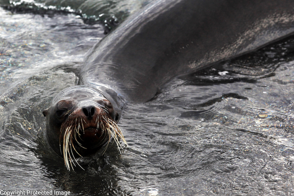A sea lion swims off of Fernandina Island in the Galapagos.