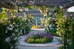 Rosa 'Felicite Perpetue' growing on the pergola at Wynyard Hall