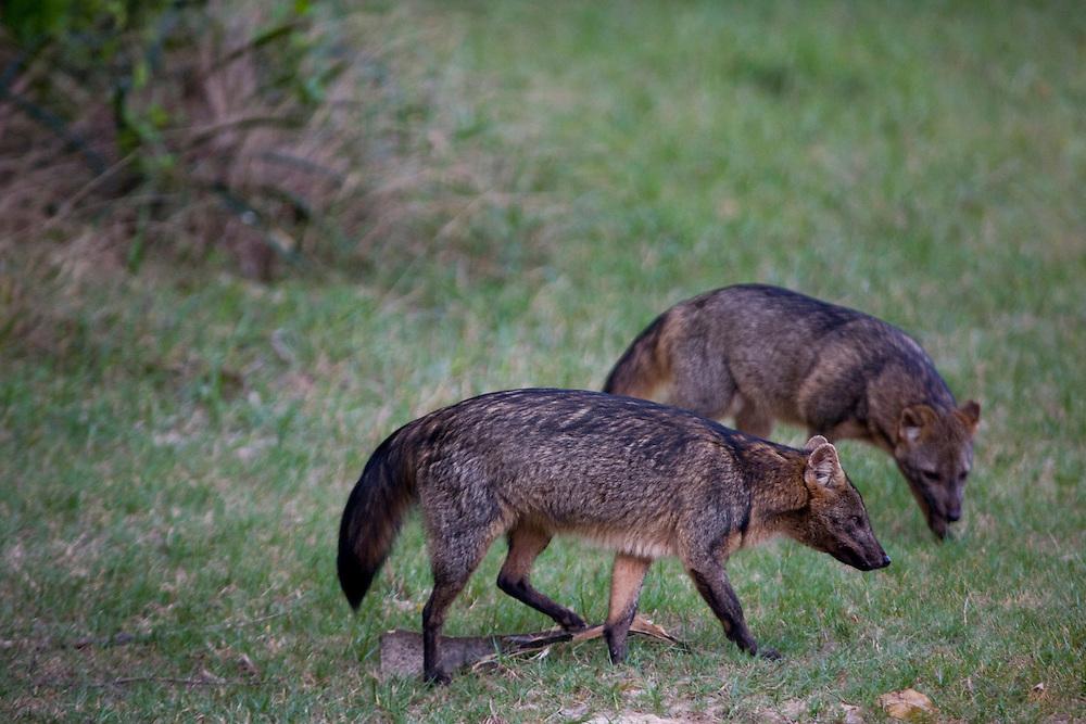 Aquidauana_MS, Brasil...Raposas no Pantanal na fazenda Rio Negro no Pantanal...Foxs in Pantanal in the Rio Negro farm in Pantanal...Foto: JOAO MARCOS ROSA / NITRO