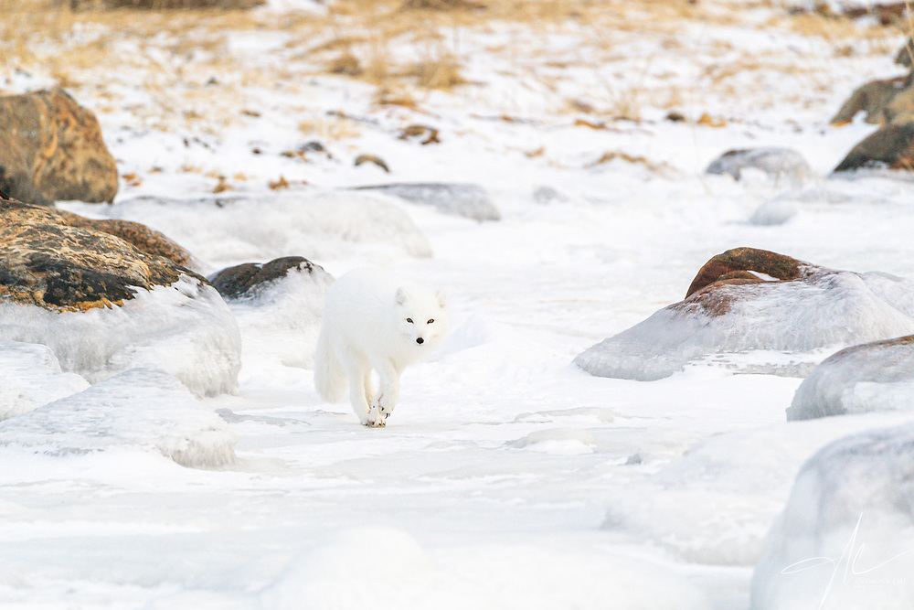 An Arctic Fox cautiously approaching my location with a suspicious look.
