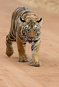 Six months old tiger cub in Tadoba NP, India. February 2016.