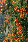 Pyrostegia venusta, also commonly known as flamevine or orange trumpetvine, is a plant species of the genus Pyrostegia of the family Bignoniaceae originally endemic to Brazil, but now a well-known garden species