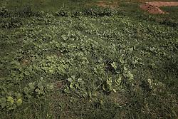Emater apresenta sistema gestao sustentável da Agricultura Familiar para melhorar a fertilidade do solo, com adubação verde, terraceamento e cordões vegetados durante a 39ª Expointer, Exposição Internacional de Animais, Máquinas, Implementos e Produtos Agropecuários. A maior feira a céu aberto da América Latina,  promovida pela Secretaria de Agricultura e Pecuária do Governo do Rio Grande do Sul, ocorre no Parque de Exposições Assis Brasil, entre 27 de agosto e 04 de setembro de 2016 e reúne as últimas novidades da tecnologia agropecuária e agroindustrial. FOTO: Alessandra Bruny / Agência Preview