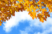 Sugar Maple leaves in autumn, Bar Harbor, Maine.